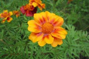 Цветок дождя