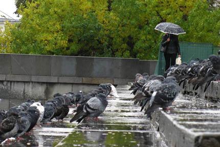 пернатые предсказывают дождь