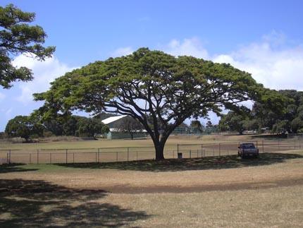 дождевое дерево южноамериканский саман (Albizia saman)