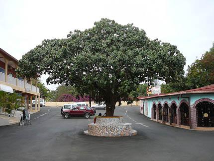 дождевое дерево Treculia africana